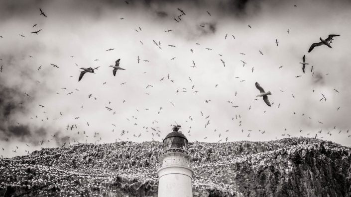 Many gannets flying round bass rock by Chris Wright Lancashire Photographer
